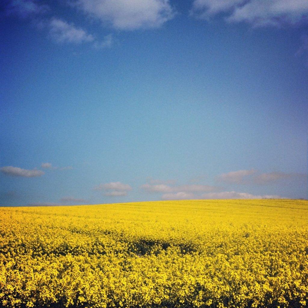 Rapeseed fields near the Ridgeway